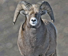 Facts-Bighorn-Sheep