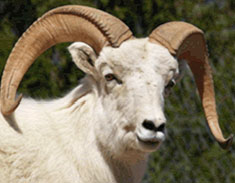 Facts-Dall-Sheep