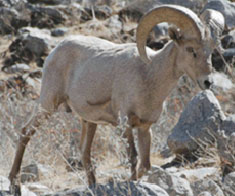 Facts-Desert-Bighorn-Sheep